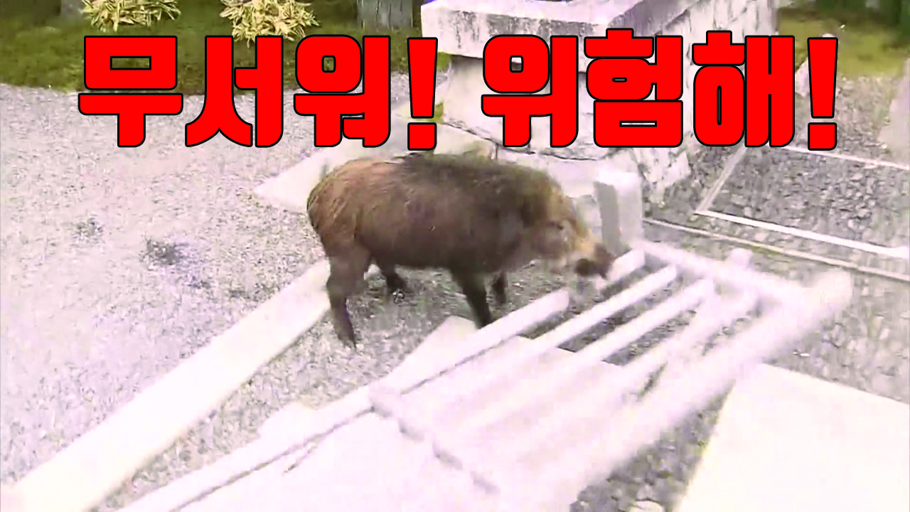 [자막뉴스] 日, 학교로 돌진한 멧돼지에 학생들 '혼비백산'