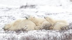눈밭에서 서로에게 기대어 낮잠 자는 북극곰 가족