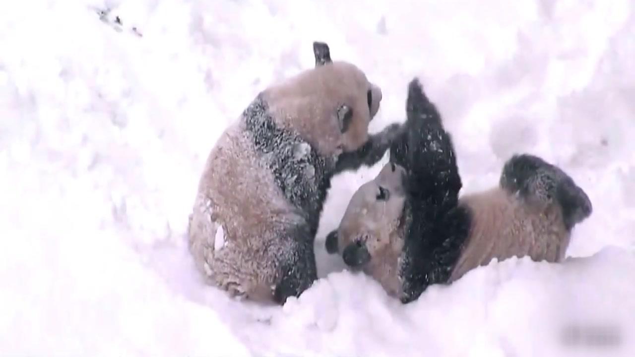 [영상] 쌍둥이 판다 남매의 제대로 된 '눈놀이'