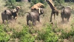 [영상] 사자도 제압하는 들소의 위력