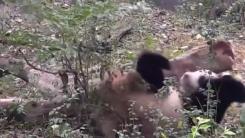 [영상] 엉덩방아 찧은 판다의 귀여운 반응