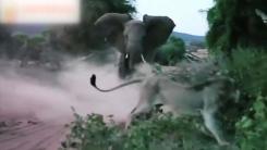 [지구촌생생영상] 코끼리 위협에 뒷걸음질...체면 구긴 사자