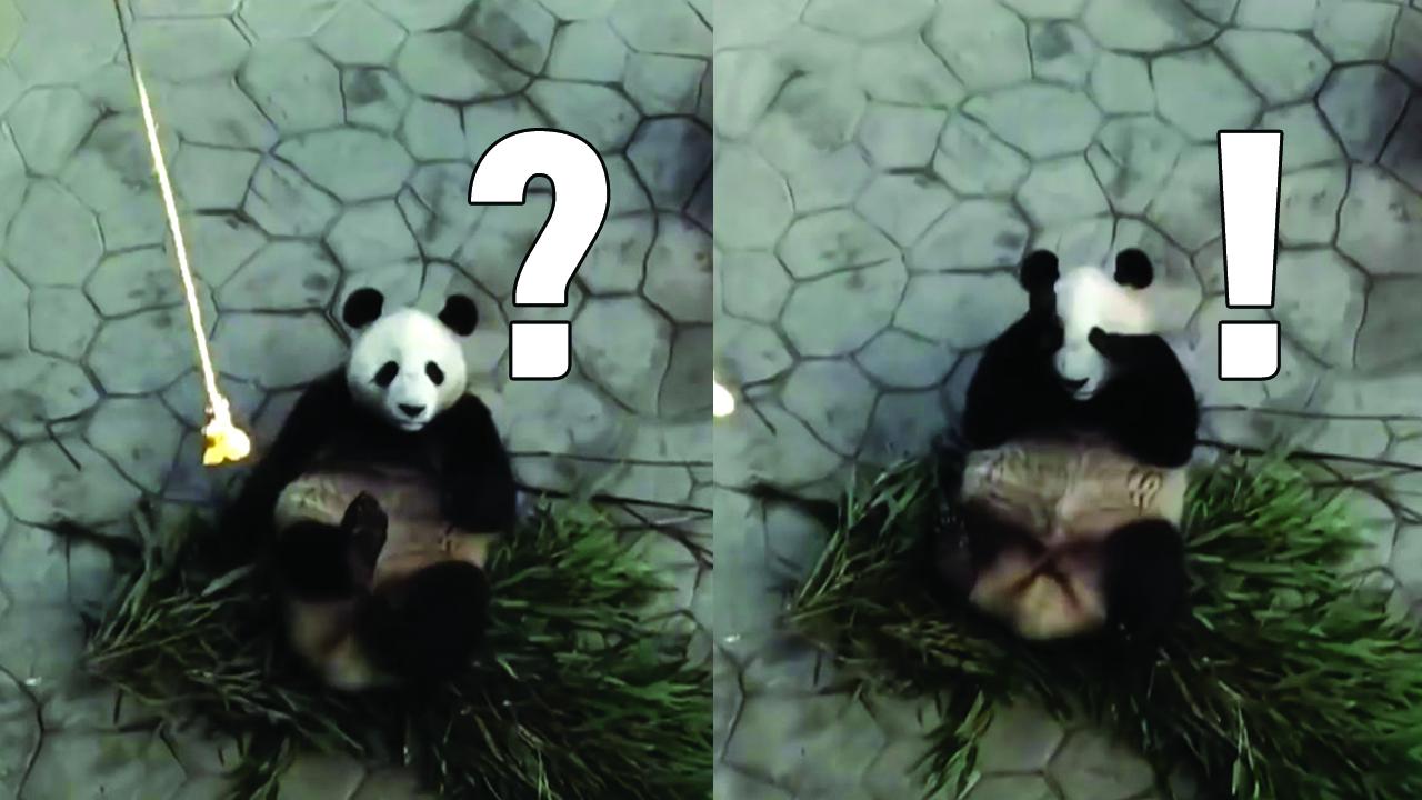 [자막뉴스] 먹이를 위해서라면...꼿꼿하게 일어선 판다