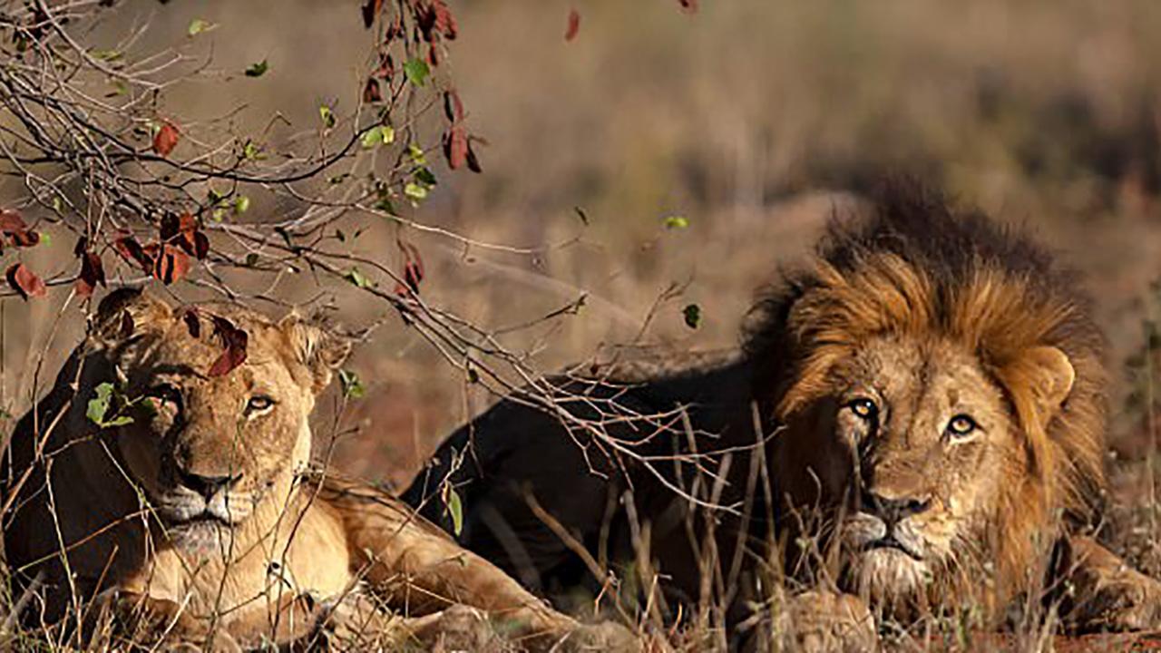 남아공서 사냥하던 밀렵꾼, 사자 무리에 잡아 먹혀