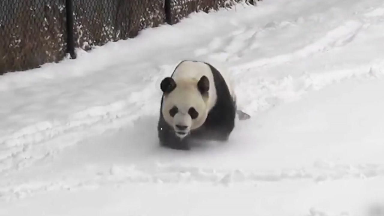 [지구촌생생영상] 자이언트 판다의 신나는 '겨울나기'
