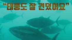 [자막뉴스] 제주 바다에서 자란 참다랑어 맛보세요
