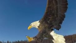 초근접 촬영...대머리 독수리의 먹이 사냥 순간
