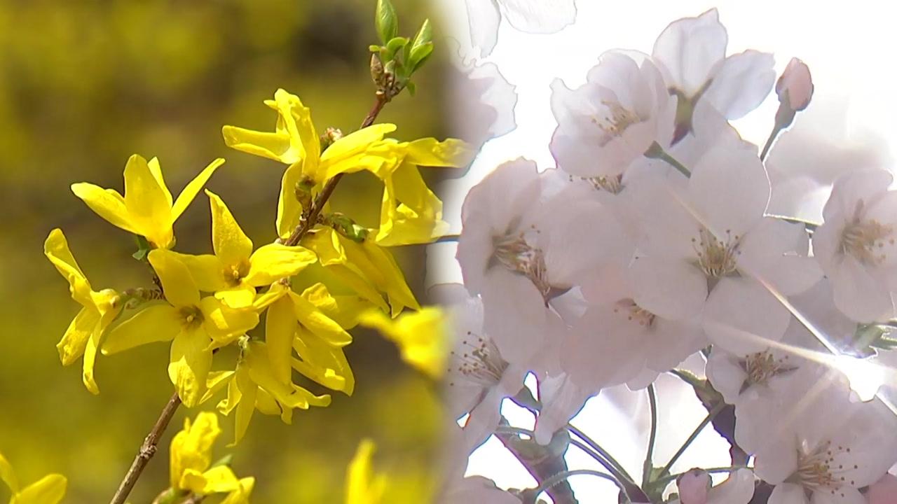 개나리·진달래 다음 벚꽃...순서대로 핀다?