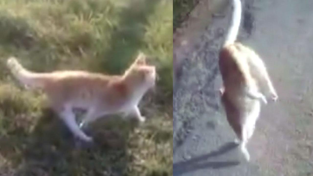 물구나무로 서서 걷는 고양이