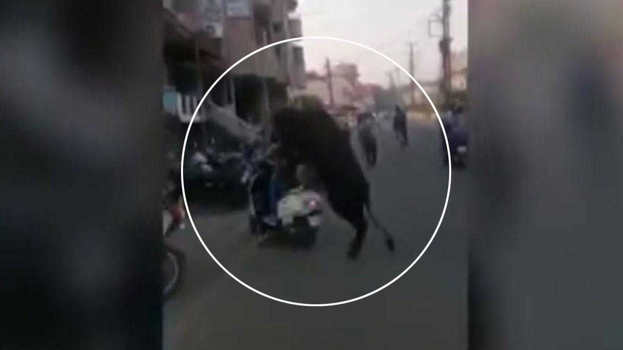인도에 가면 '소'조심하세요?!