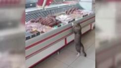 [지구촌생생영상] 정육점 단골손님 고양이 '고기 좀 주세요'