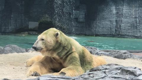 세계 유일 열대 지방에서 태어난 북극곰 세상 떠나