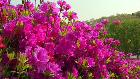 막바지 봄꽃, 철쭉 만발…큰 일교차 비상
