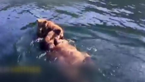 '감기 걸릴라'...새끼 곰 업어서 강 건너는 어미 곰