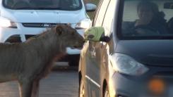 '저도 태워가세요'...도로에 나타난 야생사자