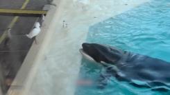 물고기를 미끼로...범고래의 영리한 새 사냥법