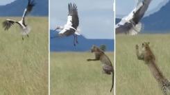 [영상] 황새의 순발력 vs 표범의 점프력