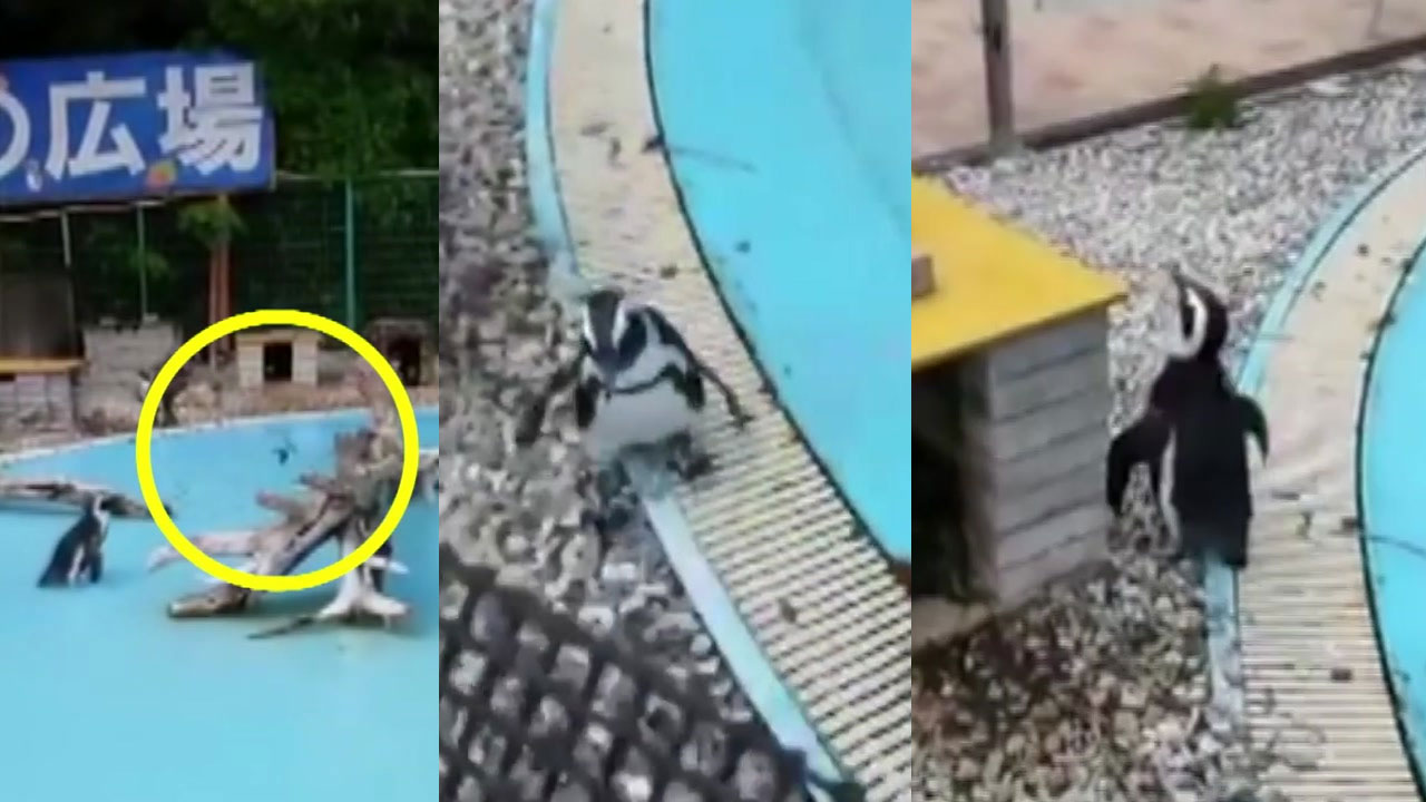 [영상] 날지 못하는 펭귄의 '슬픈 추격전'