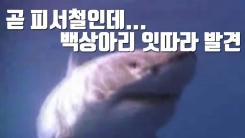 [자막뉴스] '곧 피서철인데' 백상아리 잇따라 발견