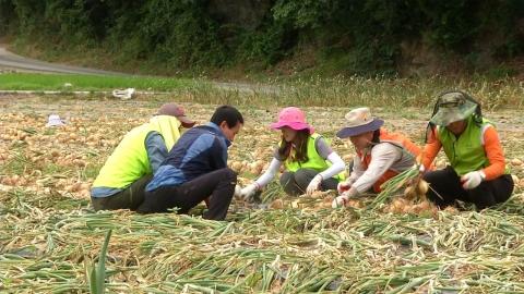 양파값 하락·일손부족 '삼중고' 농민…봉사활동으로 돕는다