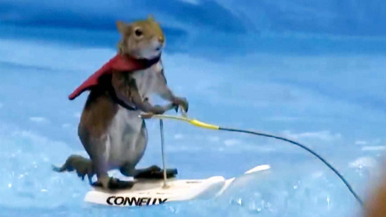 수상스키 타는 다람쥐 '트위기'의 은퇴공연