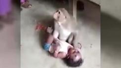 [지구촌생생영상] '새끼 돌보듯'...아이 곁 떠나지 않는 원숭이