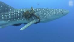 [지구촌생생영상] 고래상어 몸에 감긴 낚싯줄...5번 입수 끝에 풀어줘