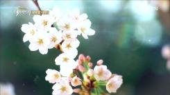 일본 벚꽃의 기원은 한국의 '왕벚꽃'