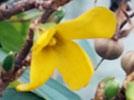 [신기한자연]성급한 개나리꽃