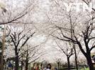 [기타]벚꽃놀이