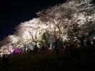 [신기한자연]밤에 본 벚꽃의 향연