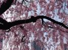 [신기한자연]석촌호수 벚꽃축제