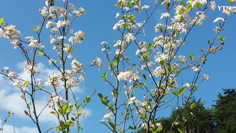 [일상] 철부지 산사나무  꽃이 흐드러지...