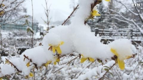 개나리 위에 눈이 내렸습니다~ ^^*
