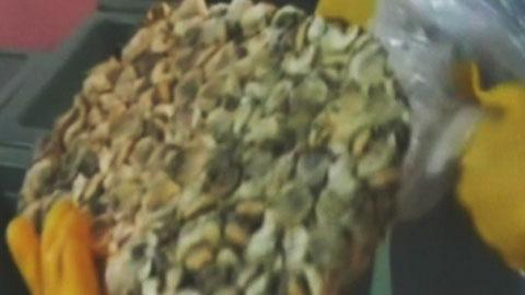 수산화나트륨으로 부풀린 수산물 210톤 유통