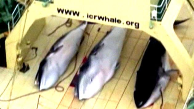 """日, 국제재판소 금지에도 """"고래 계속 잡겠다...먹는 문화 보존"""""""
