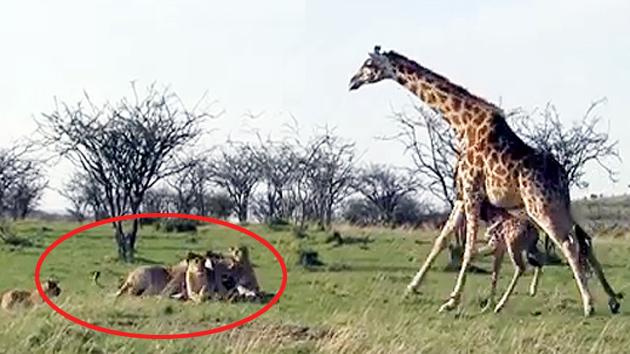사자도 '흠칫' 겁먹는 기린의 위협...이유는?