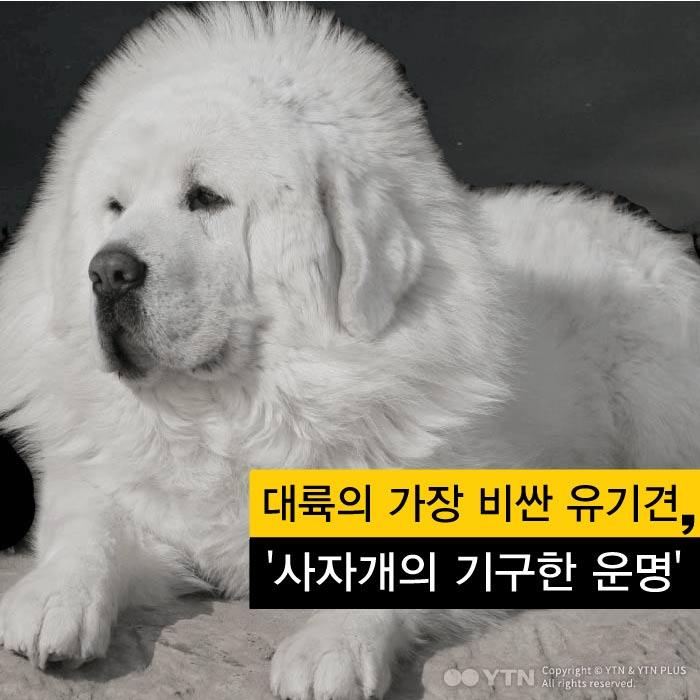 [한컷뉴스] 대륙의 가장 비싼 유기견 '사자개의 기구한 운명'