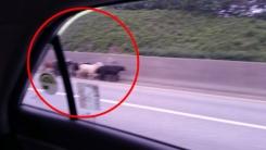 고속도로에 염소떼 출몰 '갓길 질주'