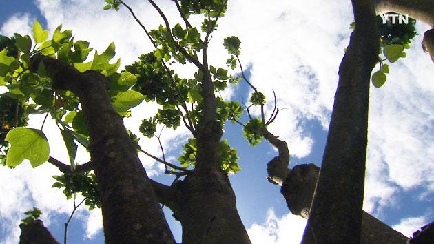 건강식품 원료 황칠나무 재배 확산