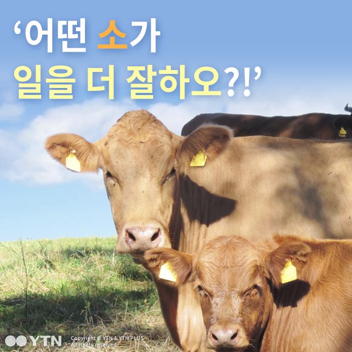 [한컷뉴스] '어떤 소가 일을 더 잘하오?!'