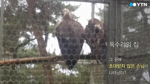 [영상] 까치와 독수리의 위험한 동거?