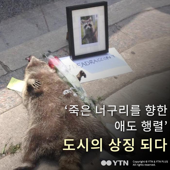 [한컷뉴스] '죽은 너구리를 향한 애도 행렬' 도시의 상징 되다