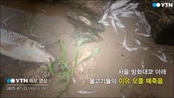 [제보영상] 방화대교 아래 떼죽음 당한 물고기들