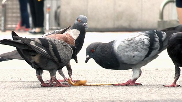 평화의 상징에서 무법자로 전락...'닭둘기 공포'