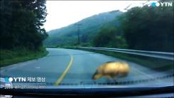 [영상] 불쑥 나타나 차로 돌진 '공포의 멧돼지'