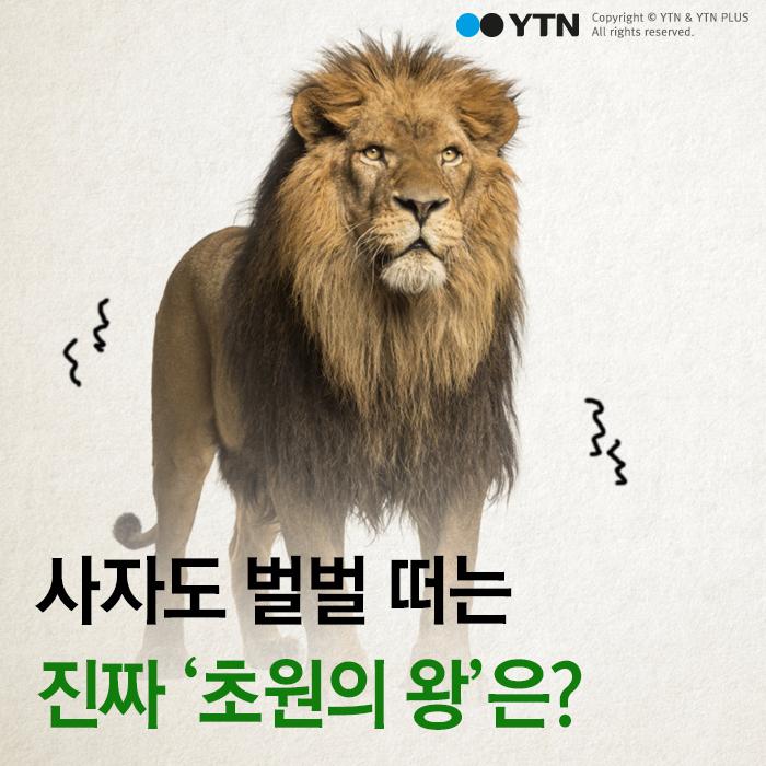 [한컷뉴스] 사자도 벌벌 떠는 진짜 '초원의 왕'은?