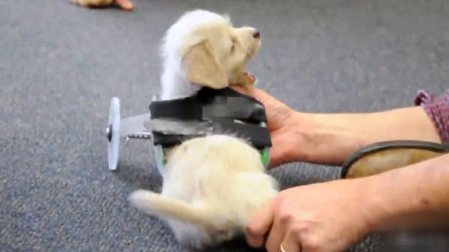 3D 프린터로 앞다리 갖게 된 강아지