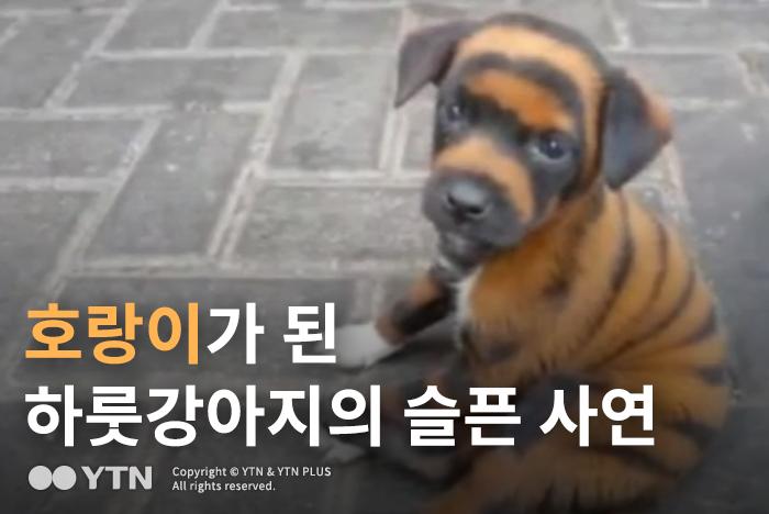 [한컷뉴스] 호랑이가 된 하룻강아지의 슬픈 사연