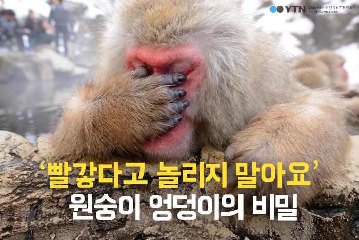 [한컷뉴스] '빨갛다고 놀리지 마' 원숭이 엉덩이의 비밀